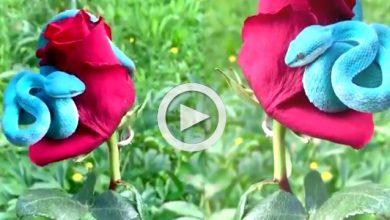 Photo of লাল গোলাপের ওপর ওত পেতে বসে রয়েছে নীলপীট ভাইপার, ভাইরাল ভিডিও